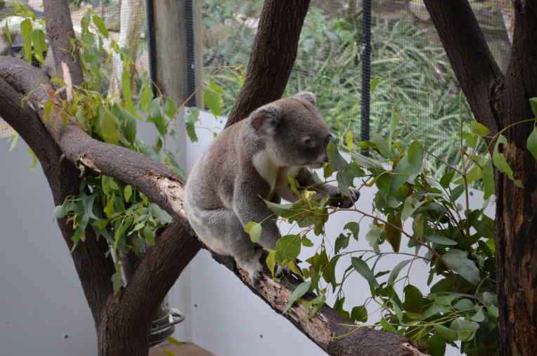 Koala - Port Douglas Wildlife Habitat