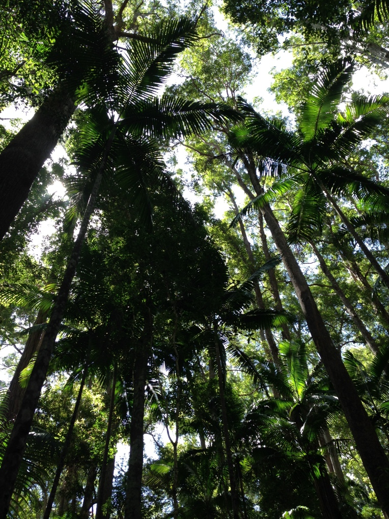 Redwood style trees in the interior of Fraser Island